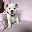 English Bulldog Puppy For Sale in EPHRATA, PA, USA