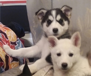 German Shepherd Dog-Siberian Husky Mix Puppy for Sale in SAINT MARYS, Kansas USA
