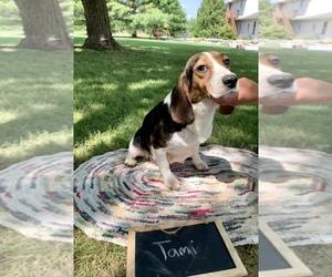 Beagle Puppy for sale in GRABILL, IN, USA