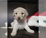 Puppy 7 Goldendoodle-Poodle (Miniature) Mix