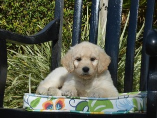 Goldendoodle Puppy For Sale in LIVE OAK, FL, USA