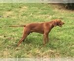 Small Photo #1 Vizsla-Weimaraner Mix Puppy For Sale in KILLEN, AL, USA
