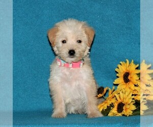 Miniature Labradoodle Puppy for sale in CHRISTIANA, PA, USA