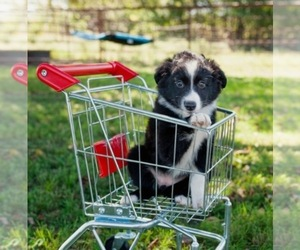Miniature Australian Shepherd Puppy for sale in NEOSHO, MO, USA