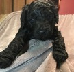 Doodle-Poodle (Standard) Mix Puppy For Sale in LAKE ODESSA, MI