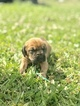 NKC Registered Bloodhound Puppies For Sale