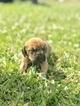 Puppy 0 Bloodhound