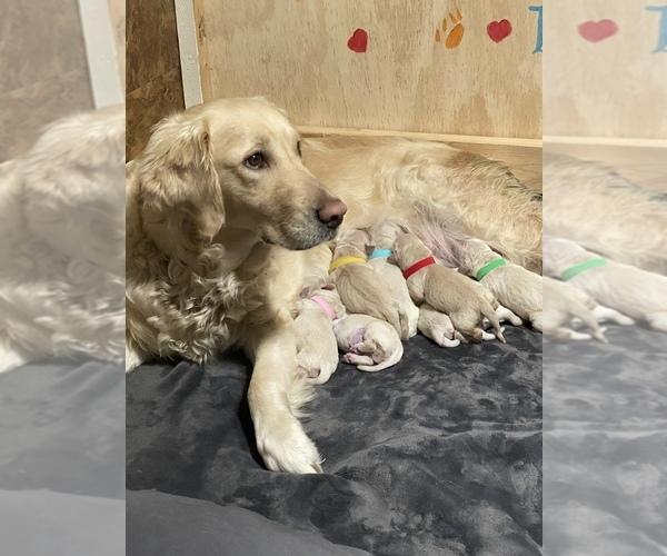 Medium Photo #1 Golden Retriever Puppy For Sale in CO SPGS, CO, USA