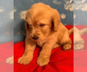 Labradoodle Puppy for Sale in RALEIGH, North Carolina USA