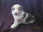 Border Collie Puppy For Sale in LOCKE, NY, USA