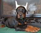 Doberman Pinscher Puppy For Sale in COLLINS, MO, USA