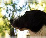 Small #3 Border Collie-Karelian Bear Dog Mix