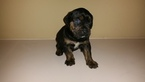 Puppy 5 Cane Corso-Rottweiler Mix