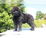 Small #50 Goldendoodle