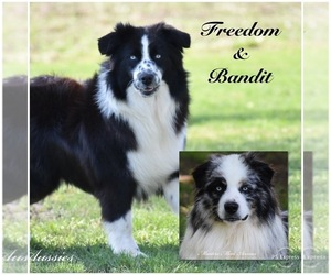Mother of the Australian Shepherd puppies born on 10/25/2020