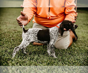 German Shorthaired Pointer Puppy for Sale in GAINESVILLE, Georgia USA
