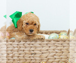 Puppy 1 Goldendoodle (Miniature)