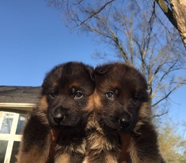 German Shepherd Dog Puppy For Sale in TROY, MI, USA