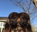 German Shepherd Dog Puppy For Sale in TROY, MI