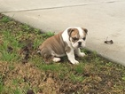 Bulldog Puppy For Sale in WALLER, TX, USA