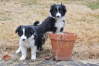 Border Collie Puppy For Sale in GLENMOORE, Pennsylvania,