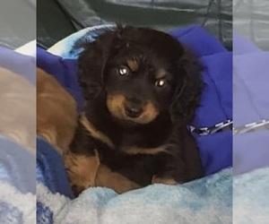 Dachshund Dog for Adoption in ADEL, Iowa USA