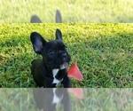 Small Photo #12 French Bulldog Puppy For Sale in CAPE CORAL, FL, USA