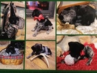 German Shorthaired Pointer Puppy For Sale in BRADFORD, Pennsylvania,
