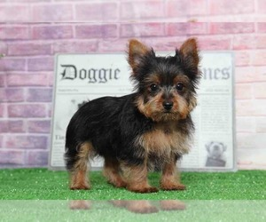 Yorkshire Terrier Dog for Adoption in BEL AIR, Maryland USA