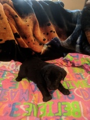Labrador Retriever Puppy For Sale in HOGANSVILLE, GA, USA