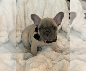 French Bulldog Puppy for Sale in KING, North Carolina USA