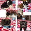 Shiranian Puppy For Sale in ALICE, TX