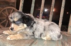 Australian Cattle Dog Puppy For Sale in MC LEAN, IL, USA