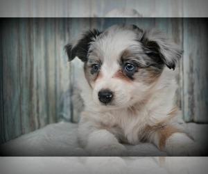 Miniature Australian Shepherd Puppy for sale in NILES, MI, USA