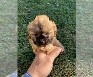 Cava-Tzu Puppy for sale in DIX HILLS, NY, USA