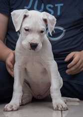 Imported Bloodlines Dogo Argentino puppies