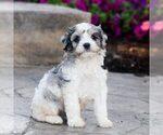 Puppy 0 Cavapoo
