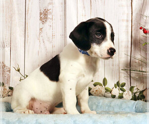Labbe Puppy for sale in PENNS CREEK, PA, USA