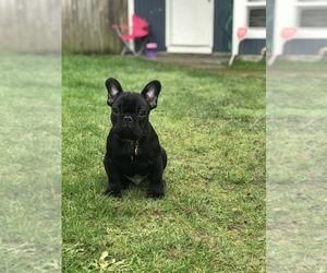 French Bulldog Dog for Adoption in TACOMA, Washington USA