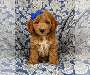 Goldendoodle (Miniature) Puppy for sale in KIRKWOOD, PA, USA