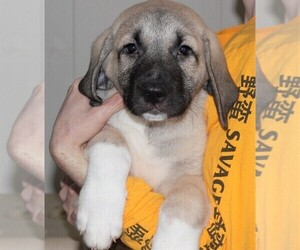 Anatolian Shepherd Puppy for sale in CARRIERE, MS, USA