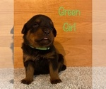 Small Photo #4 Rottweiler Puppy For Sale in NAPA, CA, USA