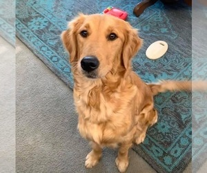 Mother of the Golden Retriever puppies born on 06/28/2021