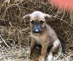 Puppy 6 Australian Cattle Dog-Labrador Retriever Mix