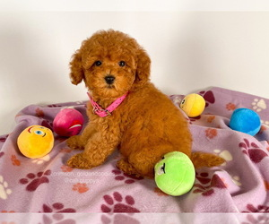 Goldendoodle (Miniature) Puppy for Sale in BREA, California USA