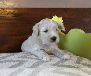 Goldendoodle (Miniature) Puppy for Sale in NAMPA, Idaho USA