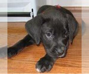 Boxador Puppy for sale in FORT WAYNE, IN, USA