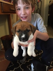 Jack Russell Terrier Puppy For Sale in INTERLAKEN, NY