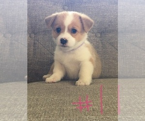 Pembroke Welsh Corgi Puppy for Sale in IOWA CITY, Iowa USA