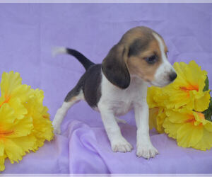 Beagle Puppy for sale in MILLERSBURG, OH, USA
